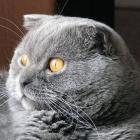 Шотландская вислоухая кошка, сплошной окрас1