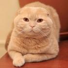 Шотландская вислоухая кошка, сплошной окрас2