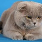 Шотландская вислоухая кошка, сплошной окрас3