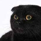 Шотландская вислоухая кошка, сплошной окрас4