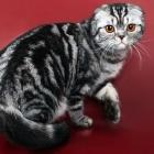 Шотландская вислоухая кошка, окрас табби1