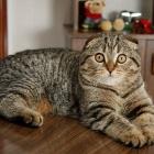 Шотландская вислоухая кошка, окрас табби2