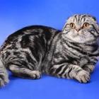 Шотландская вислоухая кошка, окрас табби3