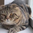 Шотландская вислоухая кошка, окрас табби4