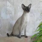 Сиамская кошка, блю-пойнт1
