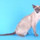 Сиамская кошка, блю-пойнт2