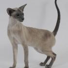 Сиамская кошка, блю-пойнт3