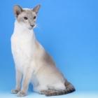Сиамская кошка, блю-пойнт4