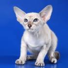 Сиамская кошка, лилак-пойнт3