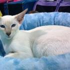 Сиамская кошка, лилак-пойнт1