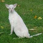 Сиамская кошка, лилак-пойнт2