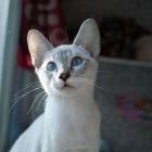 Сиамская кошка, лилак-пойнт4