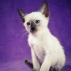Сиамская кошка, шоколад-пойнт3