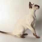Сиамская кошка, шоколад-пойнт4