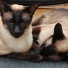 Сиамская кошка, сил-пойнт1