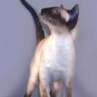 Сиамская кошка, сил-пойнт2