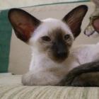 Сиамская кошка, сил-пойнт3