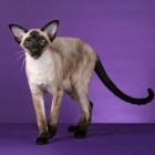 Сиамская кошка, сил-пойнт4