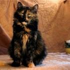 Сибирская кошка, черепаховый окрас1