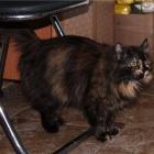 Сибирская кошка, черепаховый окрас2