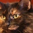 Сибирская кошка, черепаховый окрас3