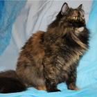 Сибирская кошка, черепаховый окрас4
