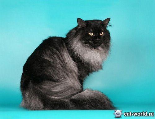 Сибирская кошка — порода настоящих