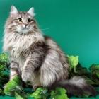 Сибирская кошка, дымчатый окрас2