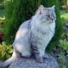 Сибирская кошка, дымчатый окрас3