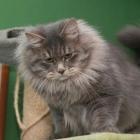 Сибирская кошка, дымчатый окрас4