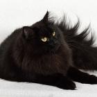 Сибирская кошка, сплошной окрас1