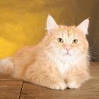 Сибирская кошка, сплошной окрас2