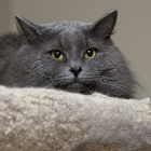 Сибирская кошка, сплошной окрас3