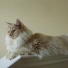 Сибирская кошка, сплошной окрас4