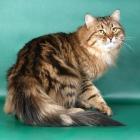 Сибирская кошка, табби1