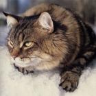 Сибирская кошка, табби2