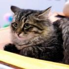 Сибирская кошка, табби3