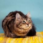 Сибирская кошка, табби4