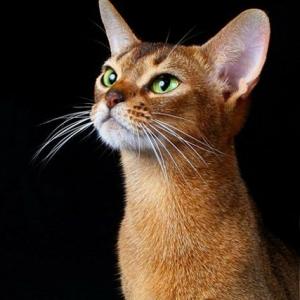 абиссинская кошка американский тип