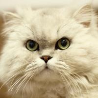 Персидская кошка классического типа