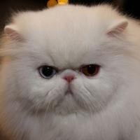 Персидская кошка экстремального типа