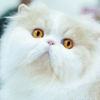 Персидская кошка современного коротконосого типа