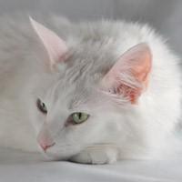 Турецкая ангора — белоснежная порода кошек