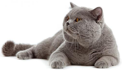 Британская короткошерстная кошка, фото