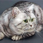 Британская кошка, фото