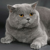 Британская кошка, обложка