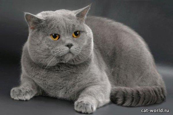 Британская короткошерстная кошка, серо-голубого окраса