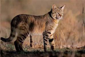 Буланая кошка в степи, фото