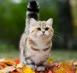 Шотландская кошечка, фото