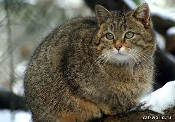 Дикая лесная кошка, фото